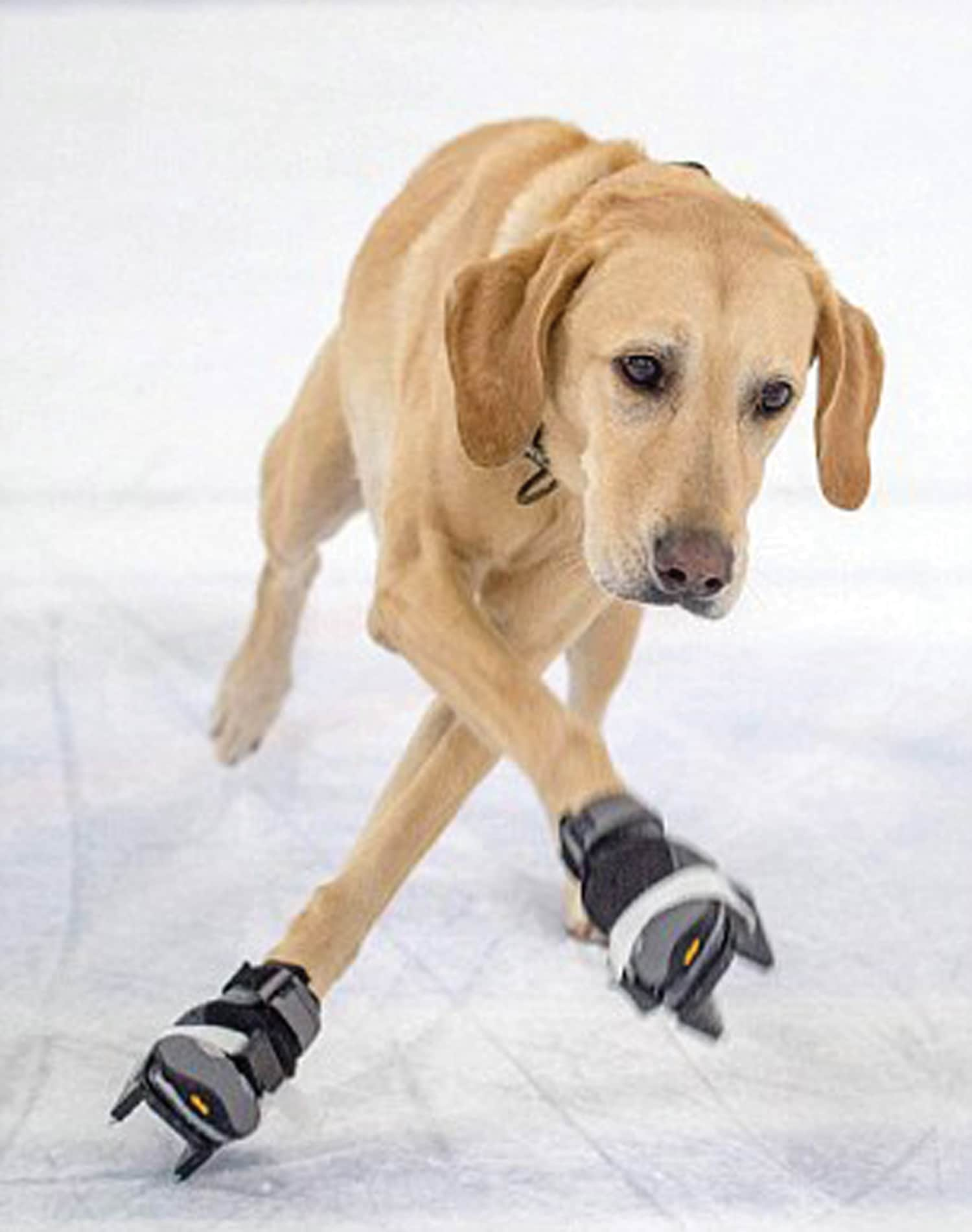 Dog dancing on ice:  The world's first ice skating dog!