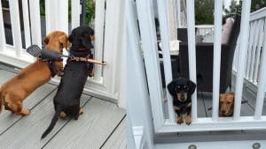 dachshunds escaping